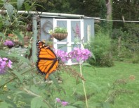 monarch-on-a-flower